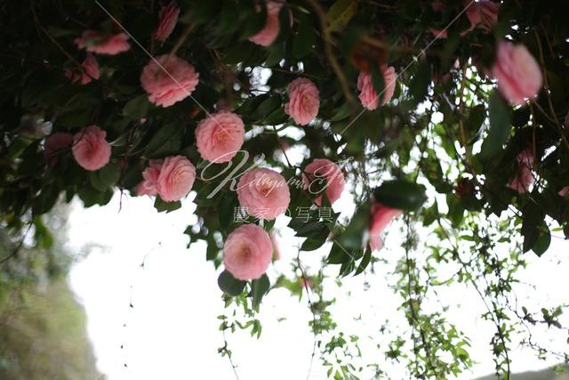 277 椿の花