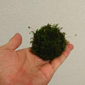 【めだか水産オリジナル】メダカの産卵床にも!『浮かぶ苔玉』2個セット