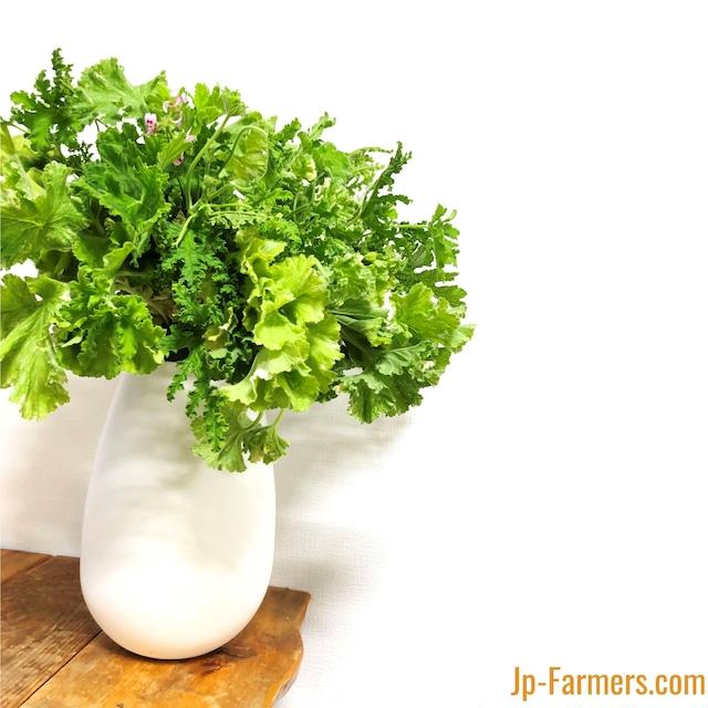 4種類のゼラニュームミックス 癒しの香りハーブグリーンブーケ 20本