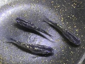 【送料無料】黒オーロララメ(ブラック半透明鱗)3匹  オス:メス 1:2