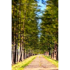 カラマツ並木道