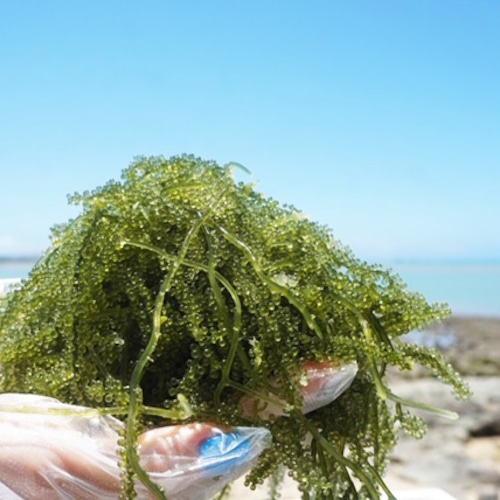 生。海ぶどう 茎付 160g