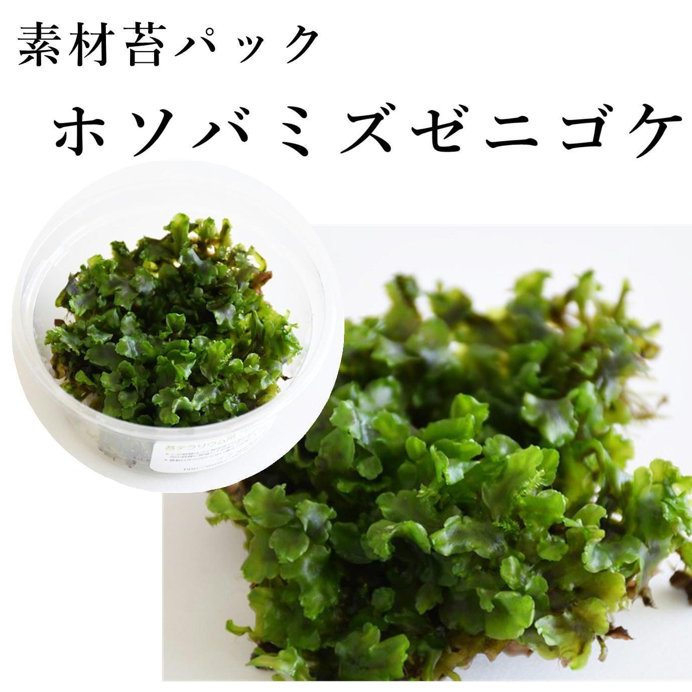 ホソバミズゼニゴケ 苔テラリウム作製用素材苔