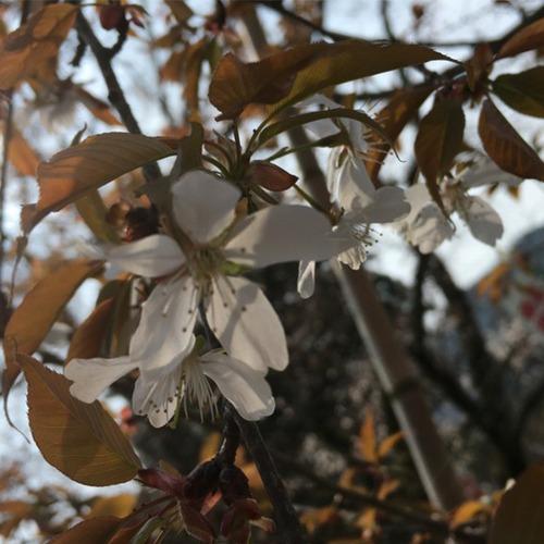 宇宙桜(そらざくら)『カルマのリセット』 | 和樂フラワーエッセンス