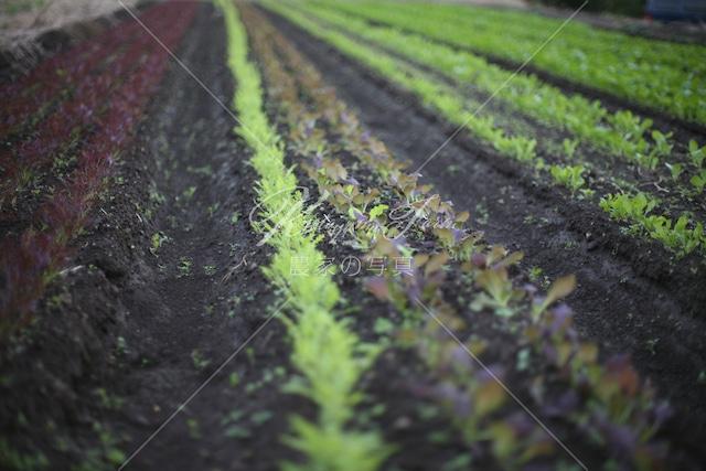303 サラダリーフ畑