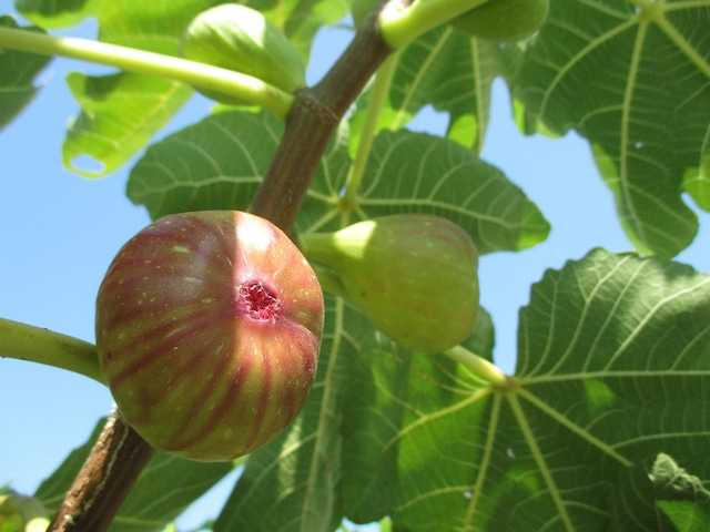 豊穣と禁断の甘い果実♡「イチジク」フラワーエッセンス