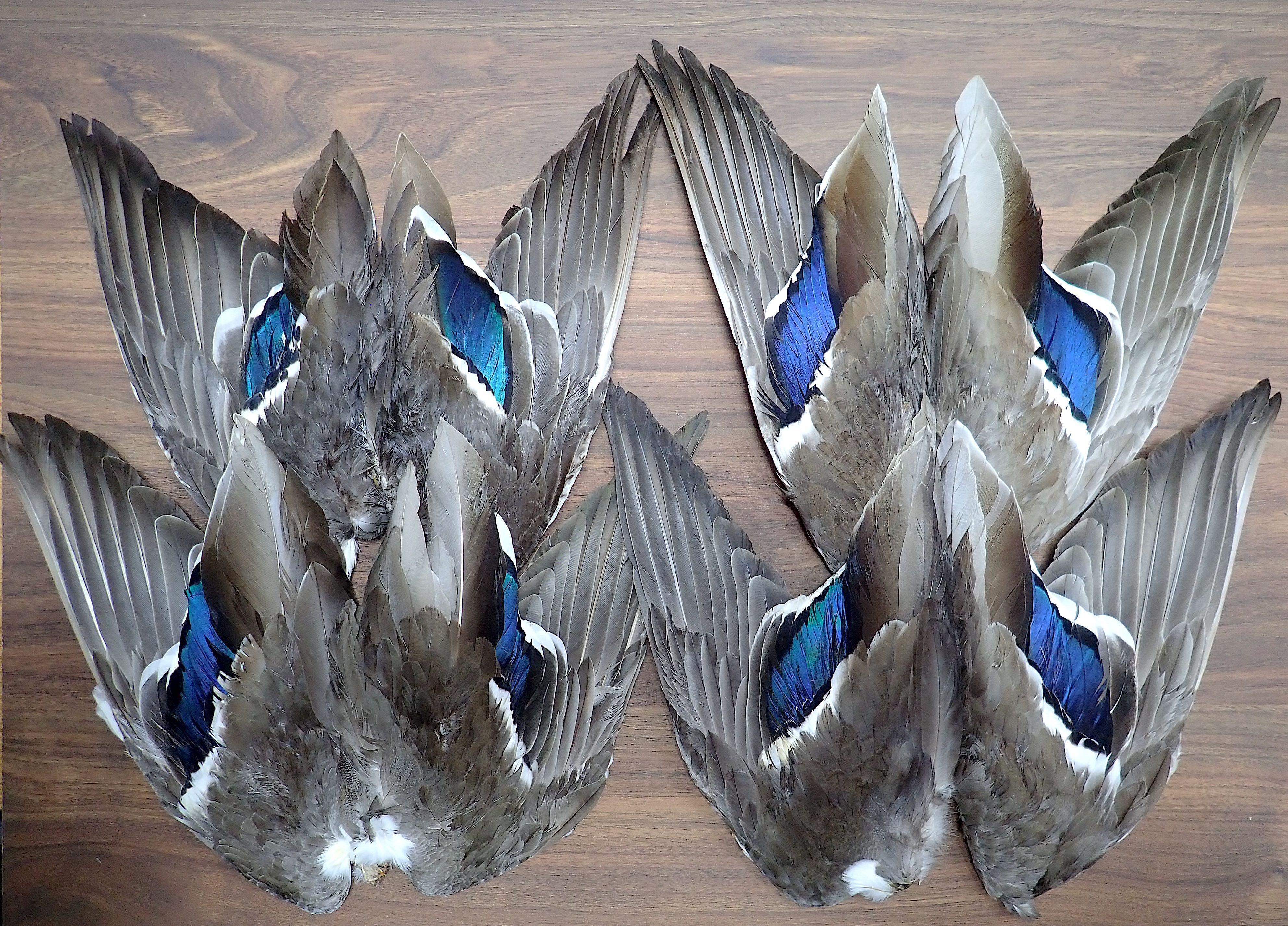 Mallard Duck Whole Wings 1pair / マラードダック ウイング 1ペア