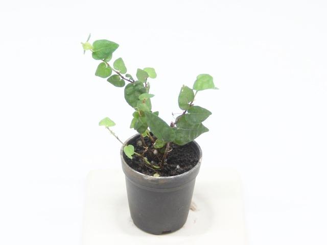 フィカスプミラ《苔テラリウム・コケリウム用観葉植物》