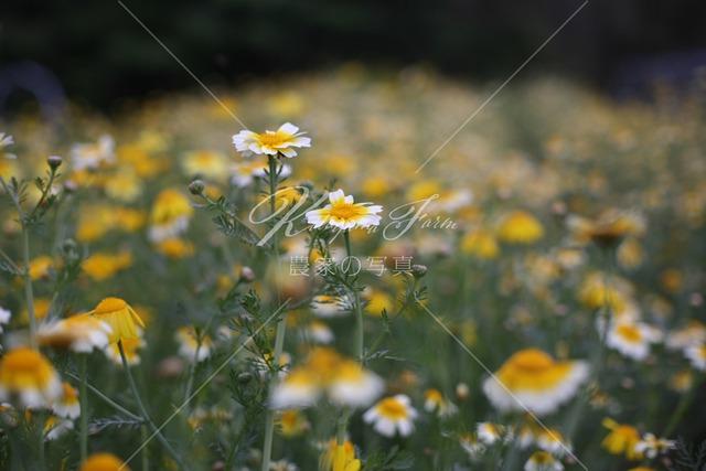 180 春菊の花「食用花」