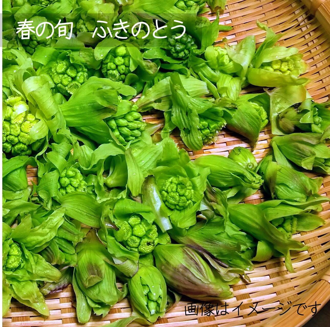 ふきのとう 約100g 4月の朝採り直売野菜 4月下旬発送予定