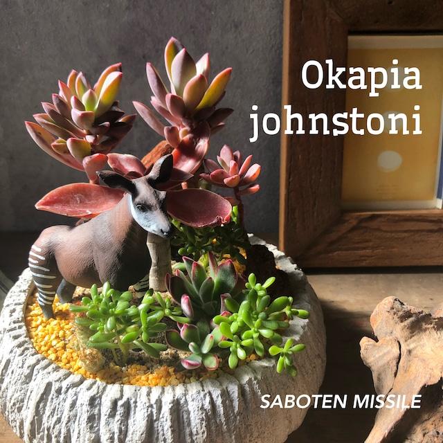 Okapia johnstoni オカピ