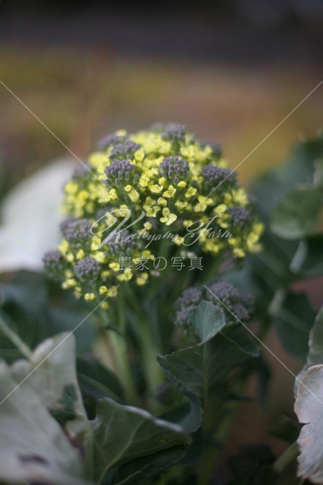 156 ブロッコリーの花