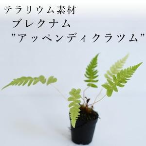 """ブレクナム""""アッペンディクラツム""""(シダ植物) 苔テラリウム作製用素材"""