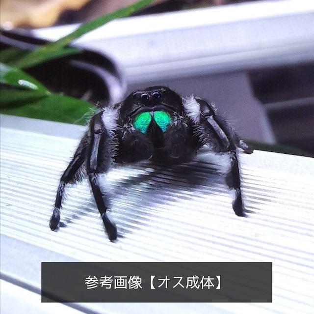 【特選株・子株2本】アグラオネマ・カーティシー Aglaonema nitidum 'Curtisii'