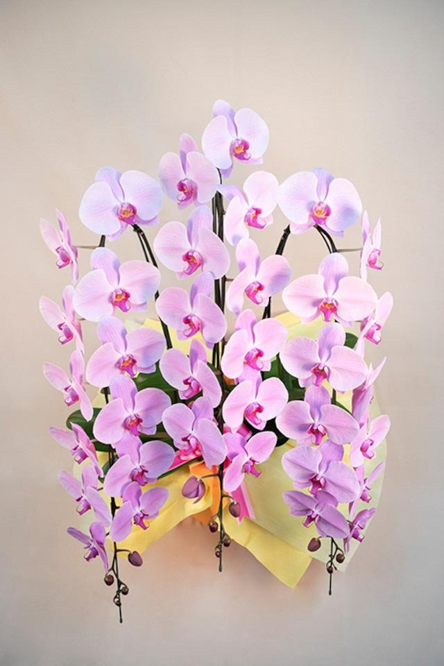 胡蝶蘭 ピンク 3本立 3Lサイズ