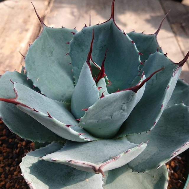 no.2 子株付き アガベ パリー トランカータ agave parryi truncata 【発根済】