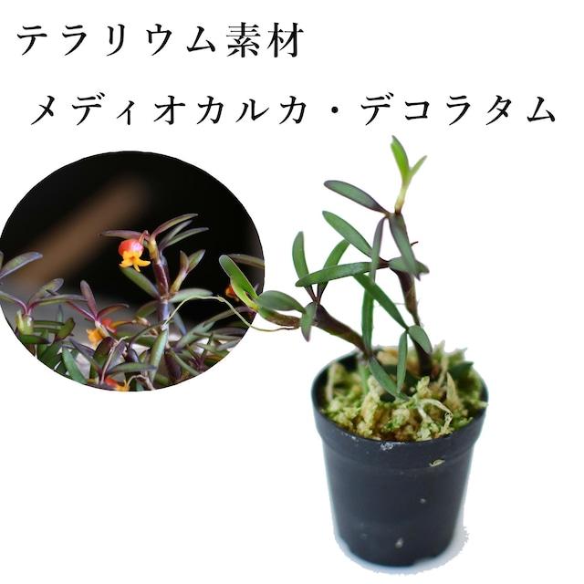 メディオカルカ・デコラタム(ラン科植物) 苔テラリウム作製用素材