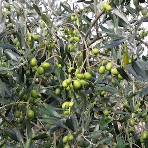【由良オリーブ】☆京都府宮津産100%・2020年収穫分!オリーブの実の新漬け
