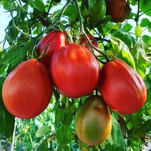 牛の心臓1kgとご家庭用フルーツトマト2kgのセット!