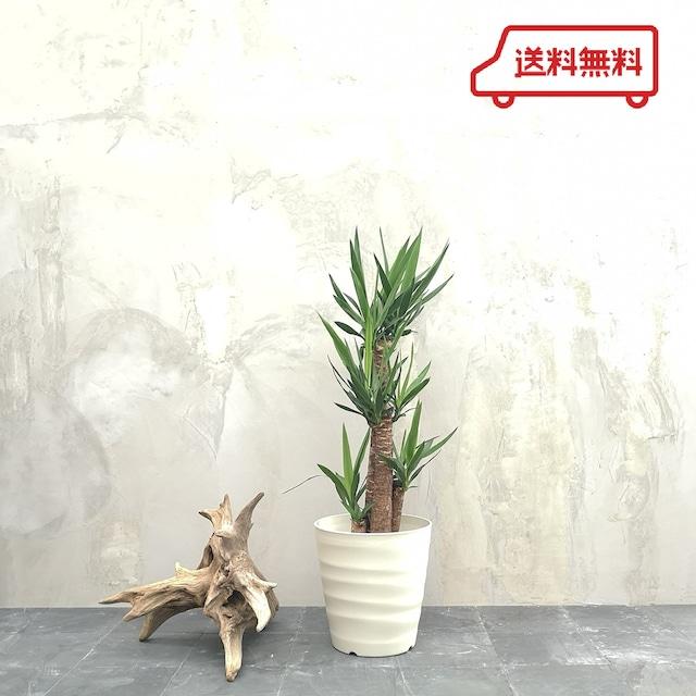観葉植物 ユッカ 8号 フレグラーポット付き