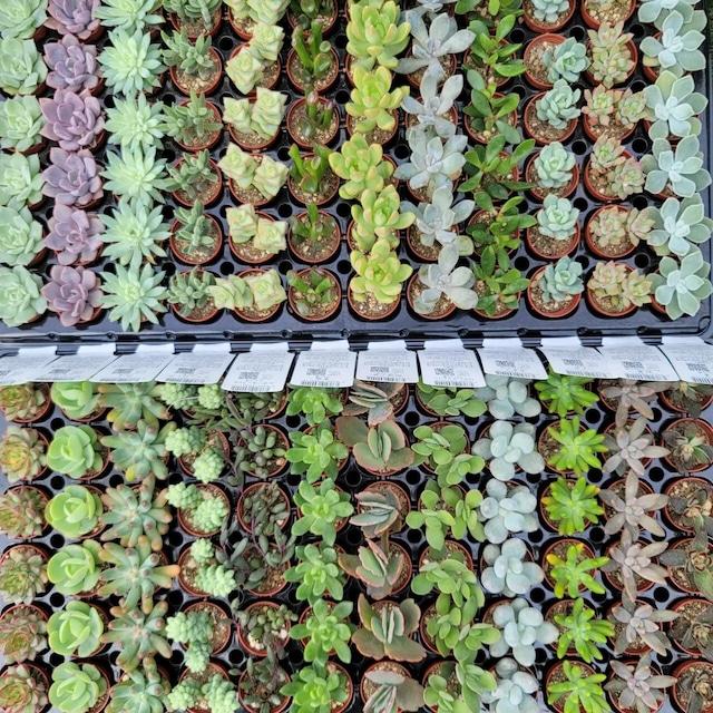 多肉植物1号pot苗 5品種セット