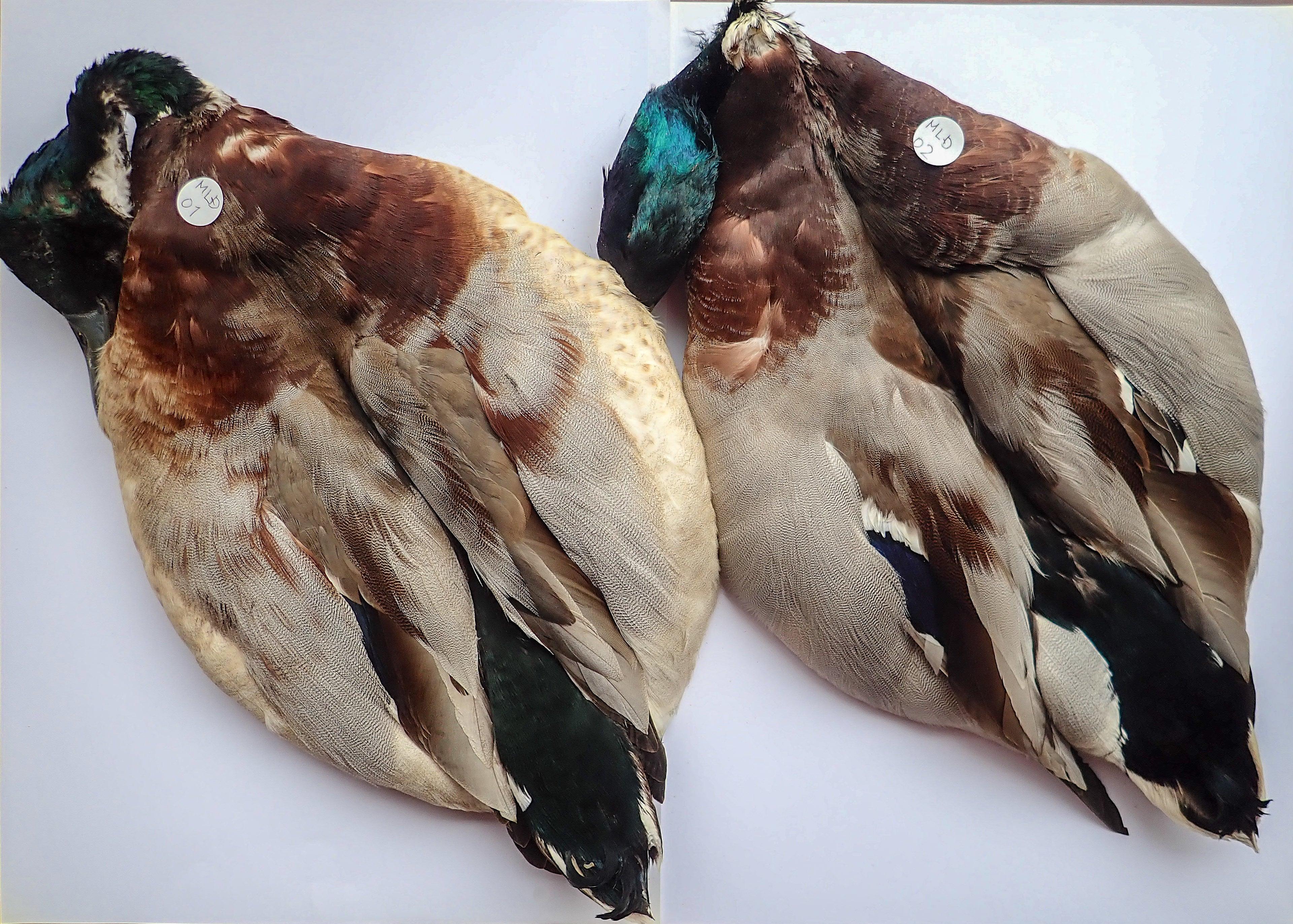 Mallard Duck Complete Skin / マラードダックCOPMスキン #MLD02
