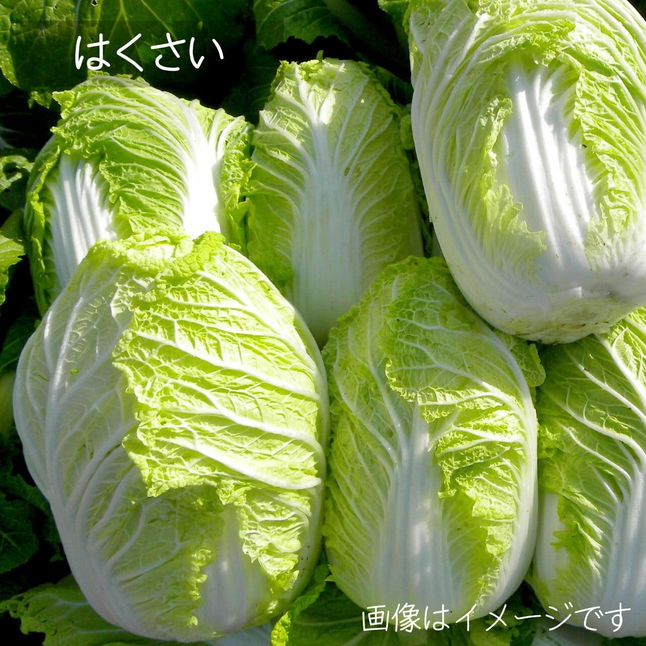新鮮な冬野菜 : 白菜 1個 11月の朝採り直売野菜 11月21日発送予定