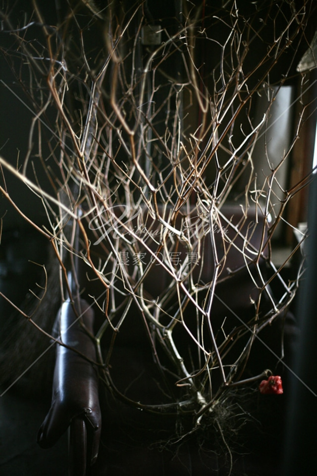 042 ピーマンの枯れ枝