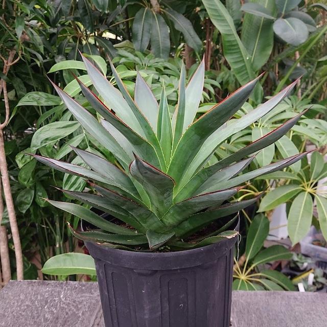 no.3 アガベ ブルーグロウ agave blue grow 【発根済】
