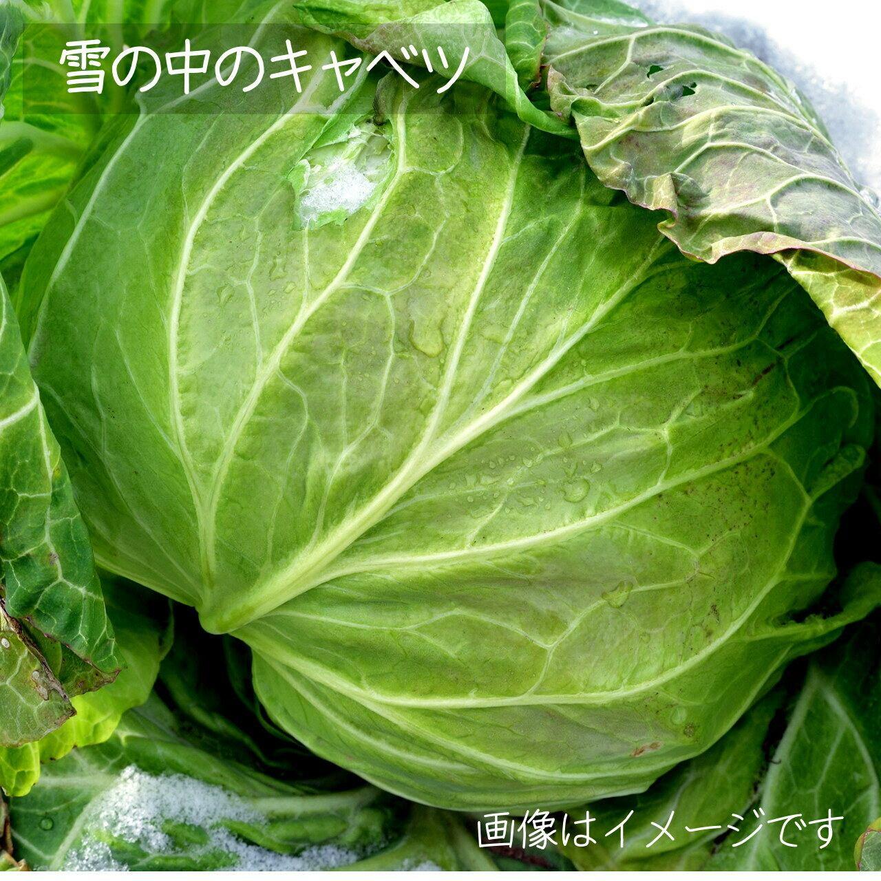 新鮮な冬野菜 : キャベツ 1個 11月の朝採り直売野菜 11月28日発送予定