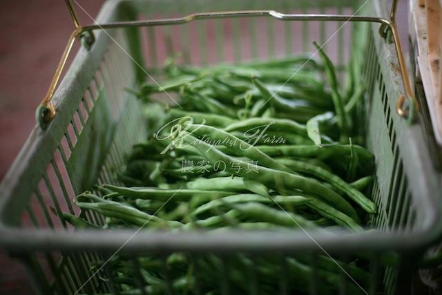 330 採れたてインゲン豆