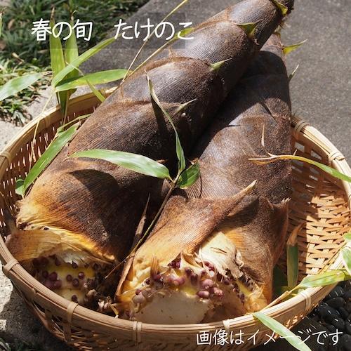 春の新鮮野菜 たけのこ 1本 5月の朝採り直売野菜 5月8日発送予定