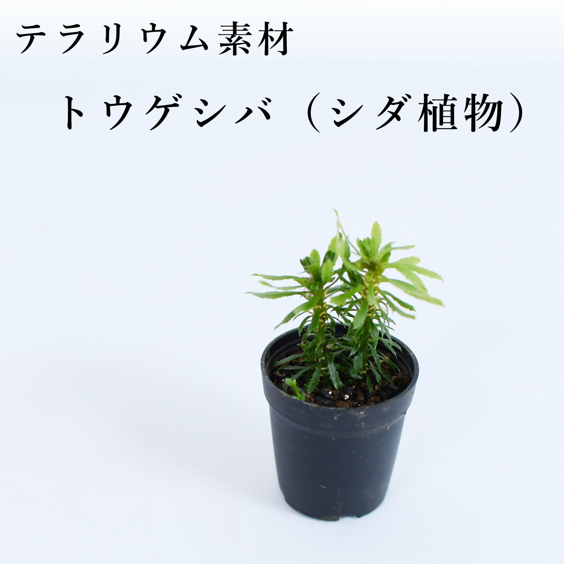 トウゲシバ(シダ植物) 苔テラリウム作製用素材