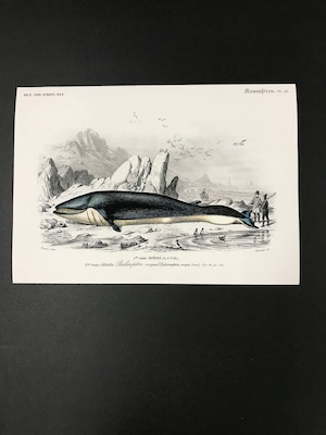 ビンテージプリント 動物シリーズコレクション クジラ