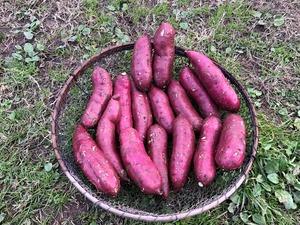 自然栽培 ねっとり甘い!「紅はるか」!【Mサイズ5kg】(M150~250g/1本)【無農薬、無施肥の自然栽培】さつまいも