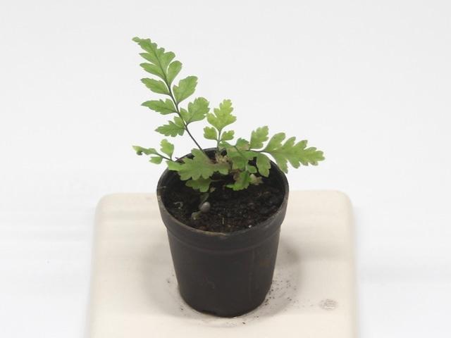 ヒメカナワラビ《苔テラリウム・コケリウム用観葉植物》