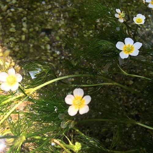 梅花藻(ばいかも)『幸せになる決意』   和樂フラワーエッセンス