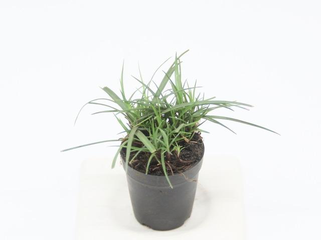ヒメカンスゲ《苔テラリウム・コケリウム用観葉植物》