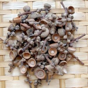 マテバシイの殻斗 50個