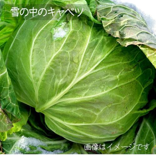 新鮮な夏野菜 : キャベツ 1個 8月の朝採り直売野菜 8月29日発送予定