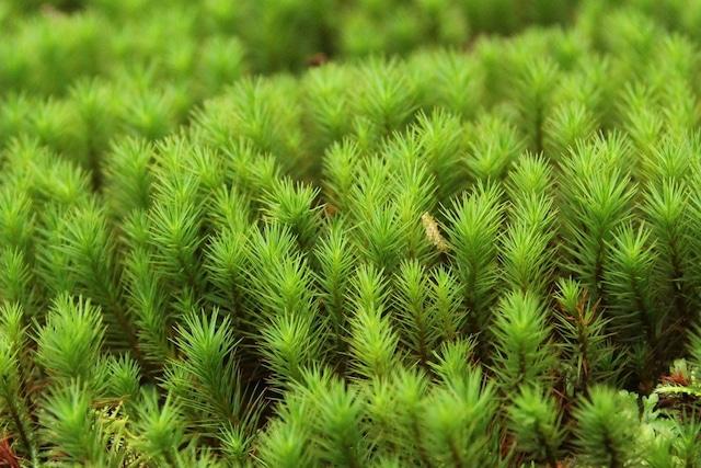 スギゴケ《苔テラリウム・コケリウム用生苔》