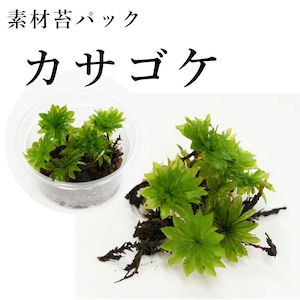 カサゴケ 5芽入り 苔テラリウム作製用素材苔