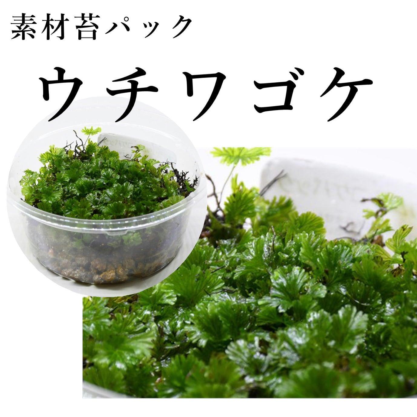 ウチワゴケ(シダ植物) 苔テラリウム作製用素材