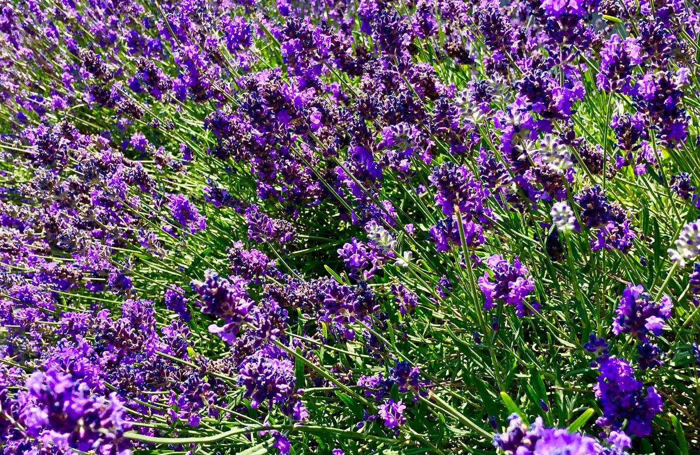 Photo Lavender comfort