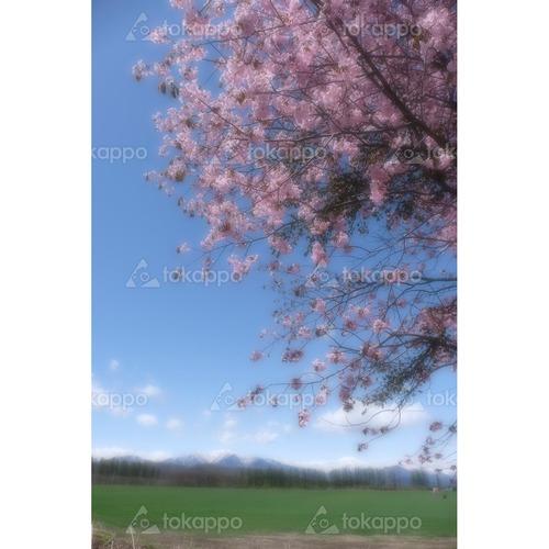 桜とポロシリ岳