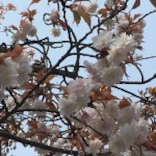 中将姫請願桜(ちゅうじょうひめせいがんざくら)『女性ならではの心と身体の苦しみの解放』   和樂フラワーエッセンス