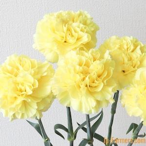 真鍋農園 カーネーション『レモンミナミ』(黄色)