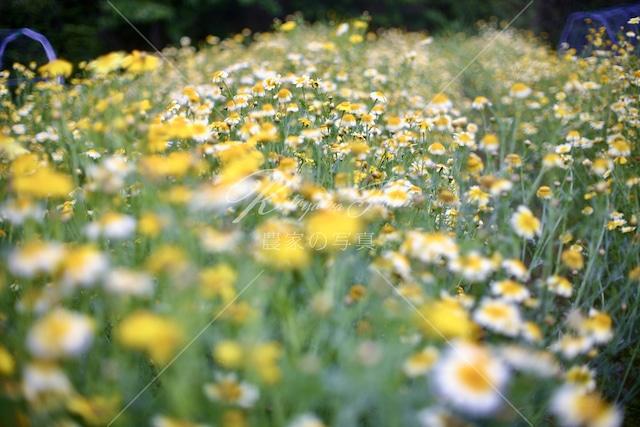 179 春菊の花「食用花」