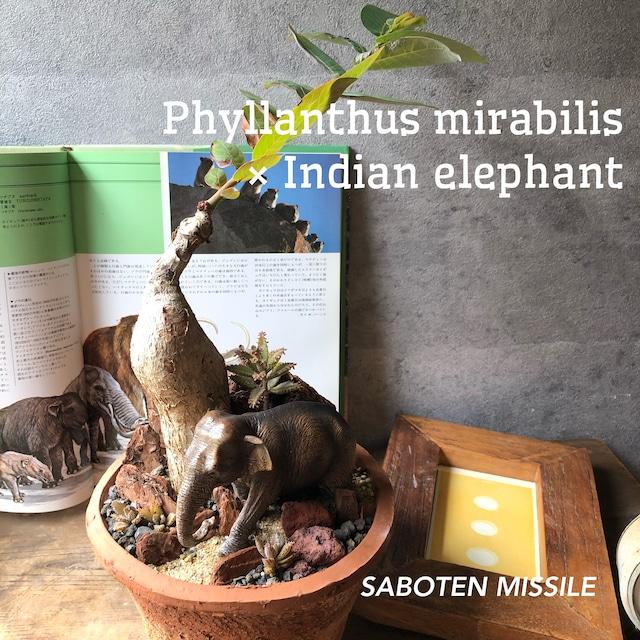 Phyllanthus mirabilis ×Indian elephant