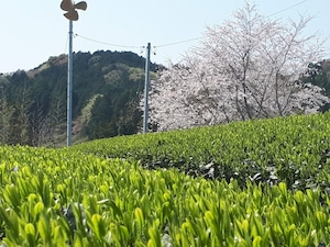 限定手摘み新茶 いぶき(100g)